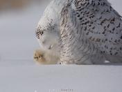 Snowy Owl Grooming