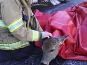 Rescuing a deer.