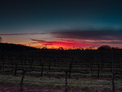 Ragapple Lassie Vineyard Sunset