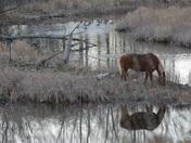 Belgian Horse Reflected