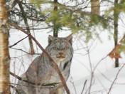 Fundy Park Lynx