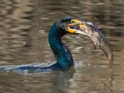 Cormorant lunch time!