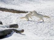 Arctic Fox Fight