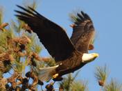 Bald Eagle, the nest is near TVA Guntersville Dam