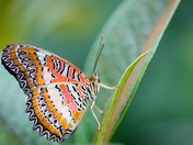 Red Lacewing portrait