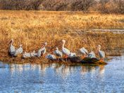 White Pelicans at Lake Overholser
