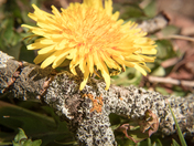 Dandelion bloom and lichen