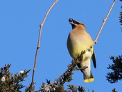 Beautiful Cedar Waxwing