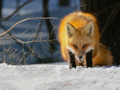 Red Fox Stares Me Down