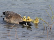 Canada Goose and Babies