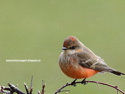 Vermilion Flycatcher in winter
