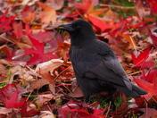 Garden Crow