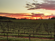 Sunset, vines pruned