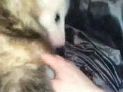 Scarborough possum