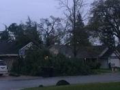 Big tree falls down