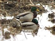 Duck Luck