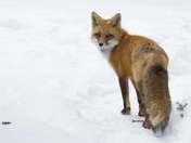 Regal Red Fox