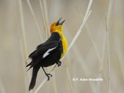 Yellow-headed Blackbird in 'song'