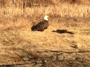Eagle Spotted in Allenstown Sunday Morning