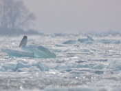 Snowy Owl Departs on an Ice Flow