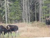 Great Canadian Moose Fight