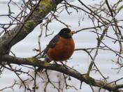 Spring - Robin