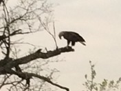 Bald eagle at Lake Overholser