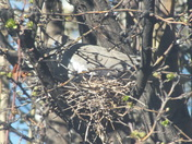 NM answer to the D.C. Eagle Nest - a nesting White-wing dove.