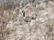 Canadian goose walking to the pond