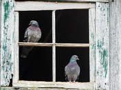 Pigeons in the Barn!