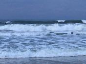 Manta ray- new Smyrna beach