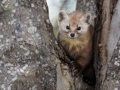 Pine Marten in the Maples