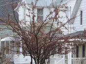 Cedar Waxwing flock 3/25/16