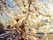 Morning Light on Ice Covered Branches
