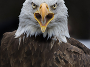 Male Bald Eagle