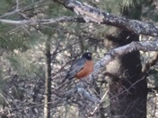 Signs of spring 3/26/16 big Beautiful Red Robin in Mooers ny