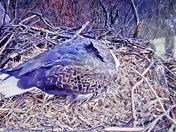 Hanover Eaglet hatching