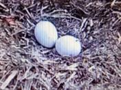Eaglet at Codorus hatching video