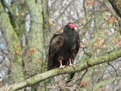 Ontario Vulture