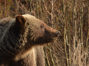 Grizzly in Morning Light