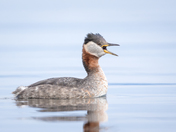 Calling all Grebes
