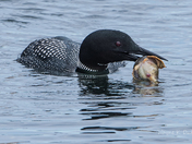 Loon with Lunch