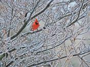 Ice Storm Cardinal