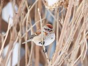 Tree sparrow in song
