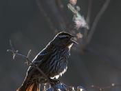 Frosty Morning Red-winged Blackbird (female)