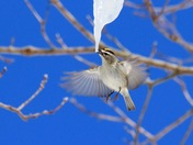Golden crowned Kinglet sipping sap
