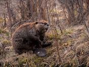 Big Beaver Eh