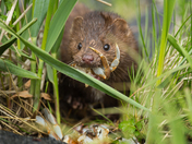 Mink with it's lunch