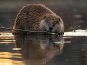 Nice Beaver eh!!!