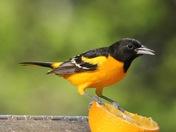 Male Baltimore Oriole